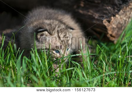 Bobcat Kitten (Lynx rufus) in the Grass - captive animal