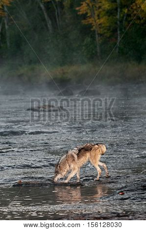 Grey Wolf (Canis lupus) Sniffs in River - captive animal
