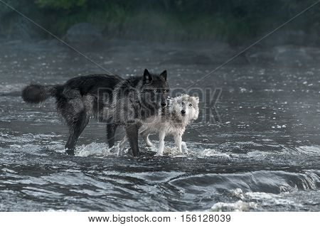 Grey Wolves (Canis lupus) Look Out From River - captive animals