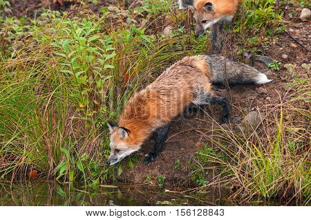 Two Red Fox ( Vulpes vulpes) Look Into Water - captive animals