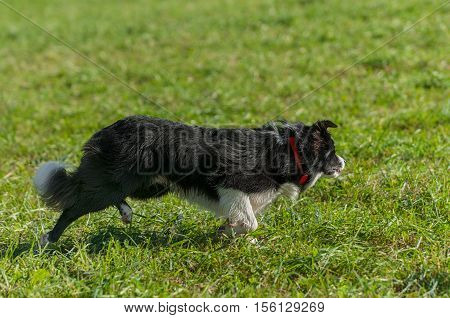 Stock Dog Starts After Out of Frame Sheep - at sheep dog herding trials