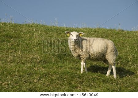 white sheep on the dike from grassland