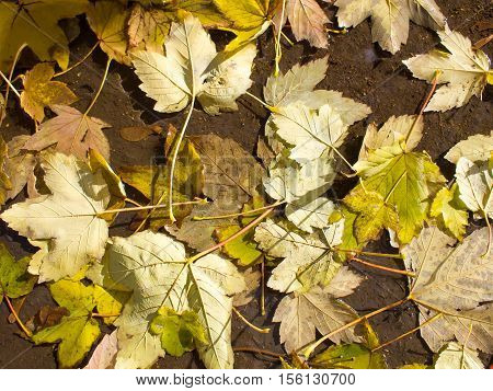 Top view of a wet autumn leaves in the dirty pool on the pavement close-up