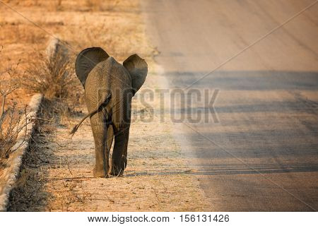 Baby African elephant, viewed from behind, walking along the roadside in Kruger National Park, South Africa.