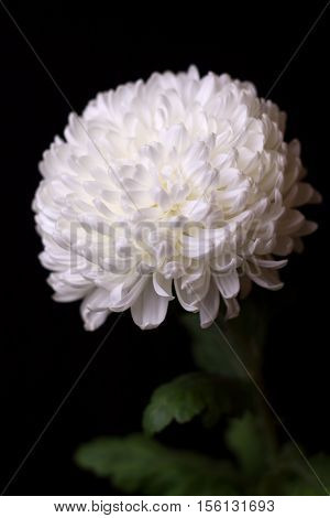 One white chrysanthemum on the black background. Beautiful flower on a dark background. Selective focus.