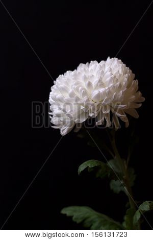 White chrysanthemum on the dark background. One white flower on a black. Selective focus.