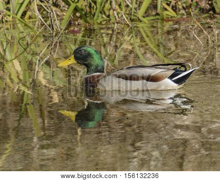 A male Mallard duck (Anas platyrhynchos) swims in a pond on a sunny afternoon in Carroll County Maryland, USA.