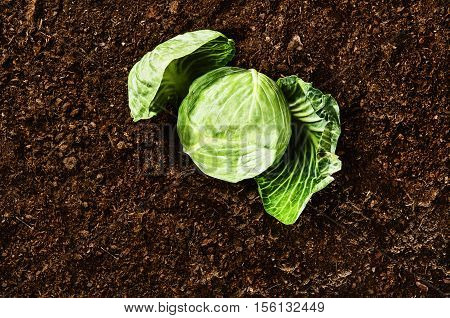 Healthy food conceptual image for horizontal background. Lettuce or cabbage lying on the soil surface. Modern eating habbits symbol. Photo from above, top view.