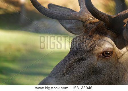 deer glance