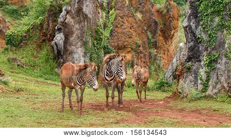 Three zebras against the background of greens and rocks. The group of three zebras soiled by the red earth leaves on a trpinka between the high rocks covered with greens
