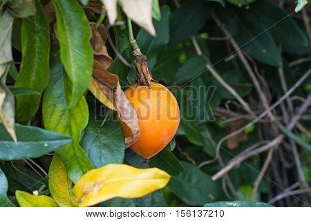Orange fruit of the Passion Flower climbing plant.