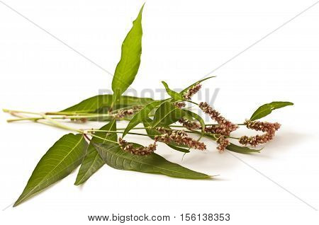 Persicaria hydropiper on white background. Water pepper.