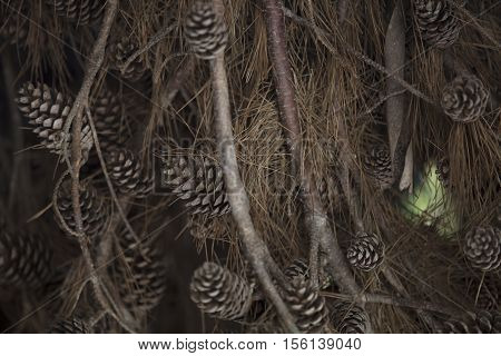 Torrey Pine Close Up of Branches and Cones in the south coast of California