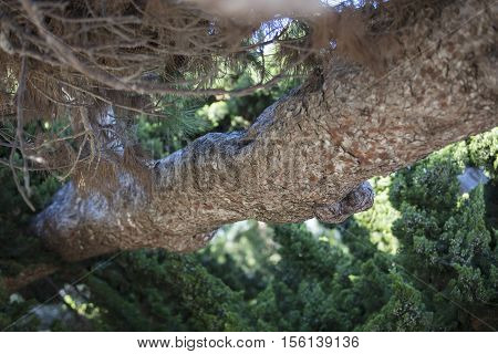 Torrey Pine Close Up of Branch in the south coast of California