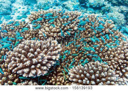 School Of Blue Fish Near Acropora Coral, Maldives