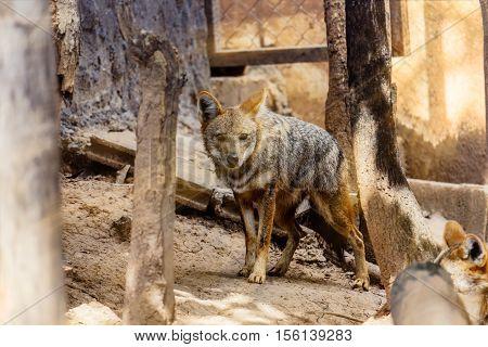 Gray Golden Jackal in wildlife  thailand .