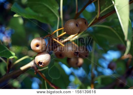 A cluster of small fruits cling to a Callery pear tree (Pyrus calleryana), also called the Bradford flowering pear,  in the Wesmere Country Club subdivision of Joliet, Illinois during November.