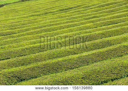 Tea Plantation On Sao Miguel Island, Azores, Portugal