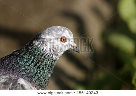 A beautiful white faced pigeon with iridescent neck feathers
