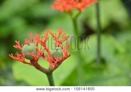 Jatropha podagrica is a species of plants known by several English common names including bottleplant shrub and gout plant