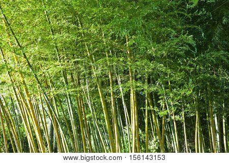Lush Green Bamboo