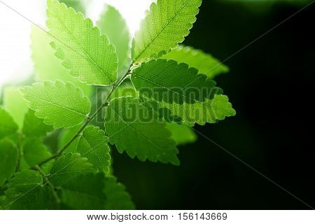 Nature background with fresh green leaves and sunlight