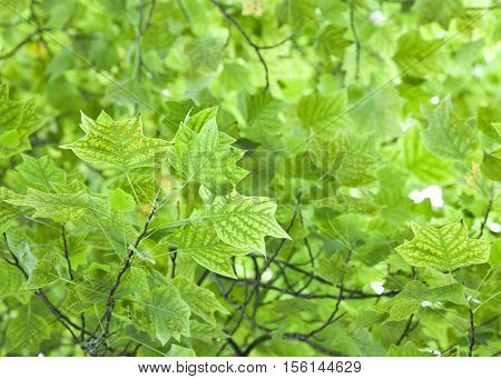 Nature background with fresh green leaves on a tree