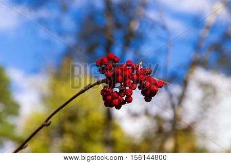 bunch of rowan on a background of multi-colored sky