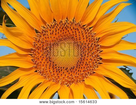Sunflower Bloom