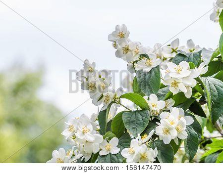 White flowers of Mock orange shrub (Philadelphus)