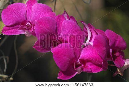 cluster of five magenta Thai Cattleya Orchids seen near Songkhla, Thailand