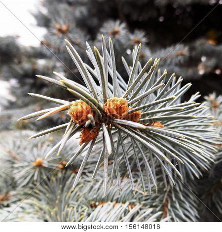 Blue spruce cones on the fir branch, fir branch, Christmas branch of fir