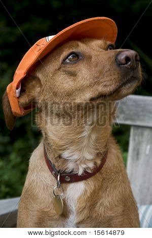 Dog with dutch soccer or baseball cap poster