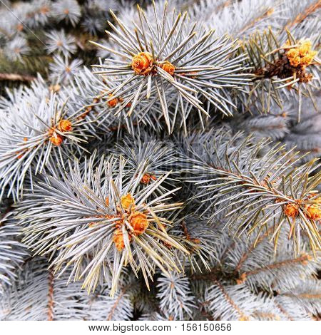 Blue spruce, snow on fir branch, cones on fir branch, fir branch, Christmas branch of fir