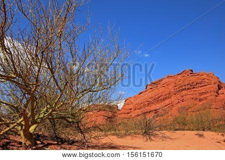 Parkinsonia, palo verde in the quebrada de Cafayate valley, also called quebrada de las conchas, Argentina
