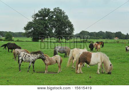 Farmland full with American mini horses poster