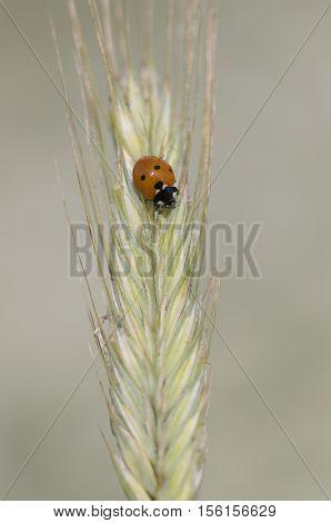seven-spot ladybird Coccinella septempunctata, closeup nature photo