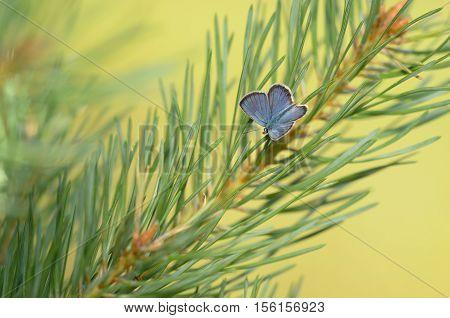 Ida's Blue (Plebejus idas), closeup nature photo