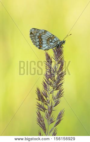 Heath fritillary (Melitaea athalia), closeup nature photo