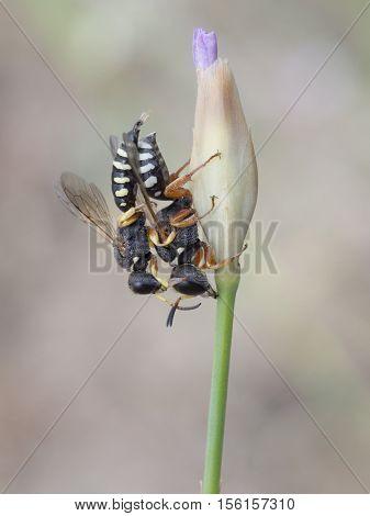 Wasp on plant,  Lestica alata, closeup nature photo
