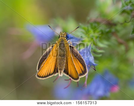 European skipper (Thymelicus sylvestris), closeup nature photo