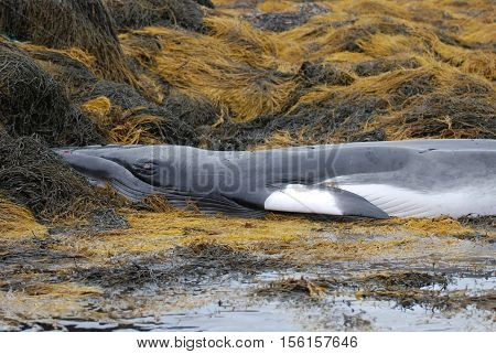 Seaweed with a deceased whale in Casco Bay Maine.