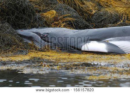 Minke whale up close deceased on a seaweed reef.