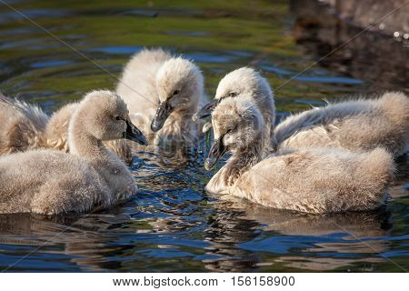 Black Swan (Cygnus atratus) cygnets feeding. The black swan is one of Australia's best-known birds, breeding mainly in the south-east and south-west regions.