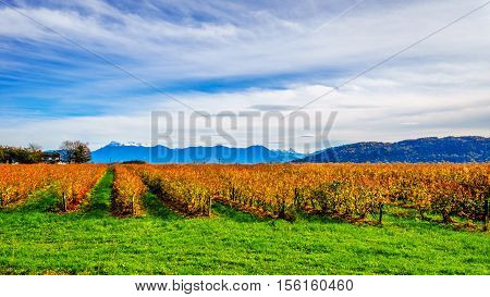 Fall Colors of straight Rows of Blueberry Plants in Farmer Fields in the Fraser Valley of British Columbia, Canada