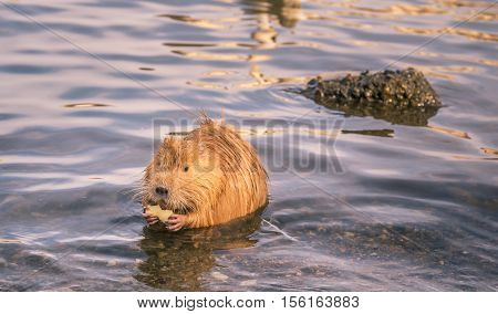 Funny river animal with apple slice in paws - Cute orange coypu holding a slice of apple in its paws on Vltava river in Prague Czech Republic.