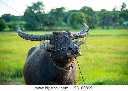 The domestic buffalo in rice field,Buffalo in country
