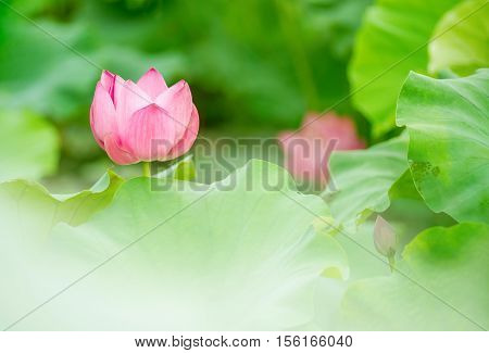 Pink lotus in the early morning mist.