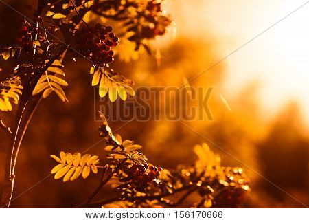 Sunset ashberry in direct sunlight background hd
