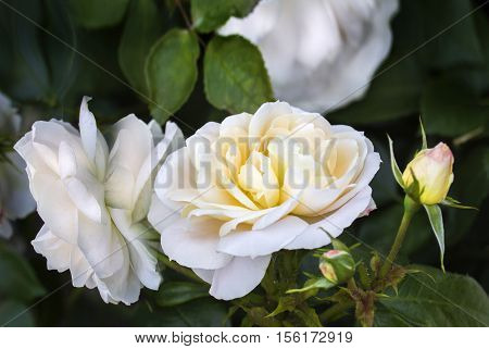 Close view of white yellow rose blossoms